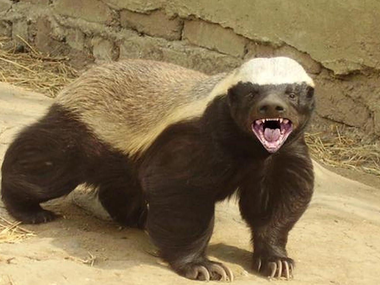 Самое агрессивное и бесстрашное животное на Земле