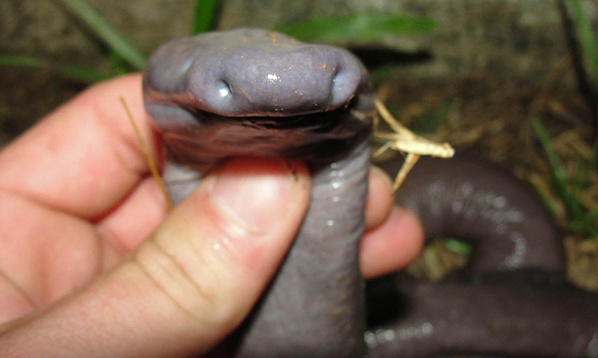This snake-like animal, called Atretochoana eiselti, was found in a river in Brazil - and it is so rare the only previously known specimens are in museums and nobody knows where exactly they came from. Although it looks like a snake, it is an amphibian -