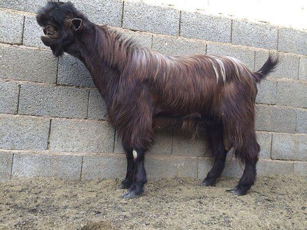 Дамасская коза или коза-чудовище