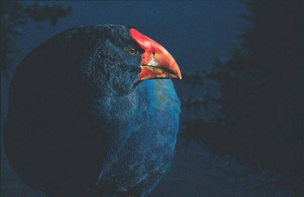 Такахе: Птица, которая воскресла 3 раза!