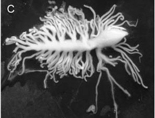 черви немертины, оружие червя немертины, как охотится червь немертины, немертины видео