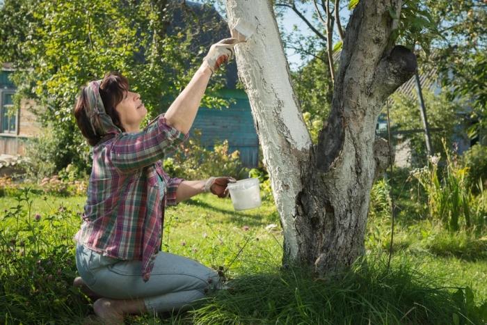 Садоводам на заметку: о побелке деревьев