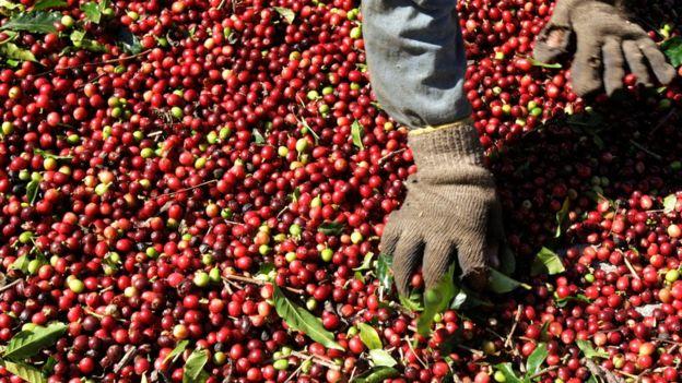 Кофе - это вишня? 13 удивительных фактов о напитке