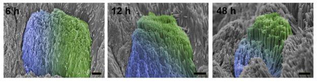 Регенерация зубной эмали спустя 6, 12 и 48 часов. Природная эмаль обозначена синим цветом, искусственная эмаль — зеленым