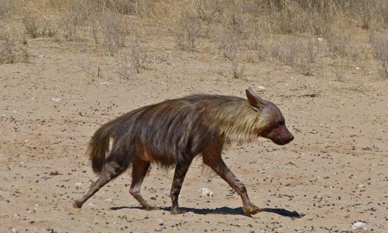 Бурая гиена гиены, гиена, животное, бурые, которые, бурой, которая, очень, которых, самцы, Hyaena, часто, особей, длину, взрослых, группами, достигают, животного, самки, Самки