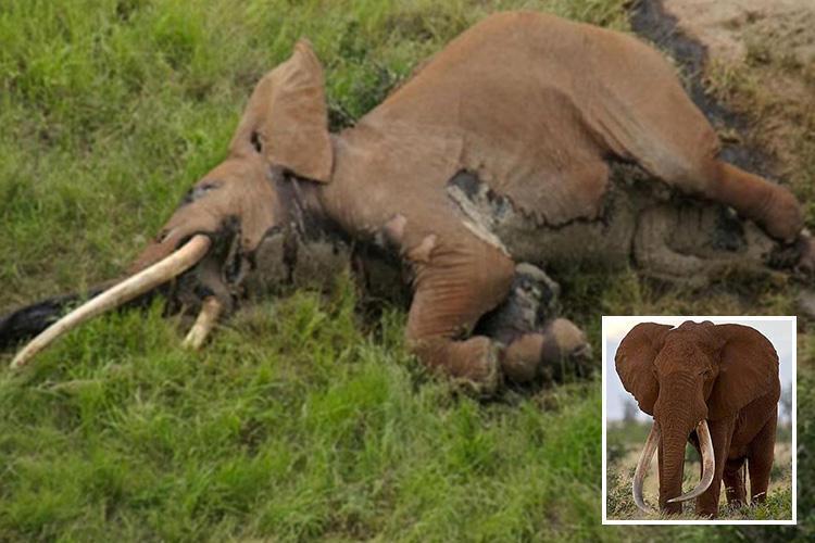 """В Кении умерла """"королева слонов"""". Ее бивни достигали земли"""