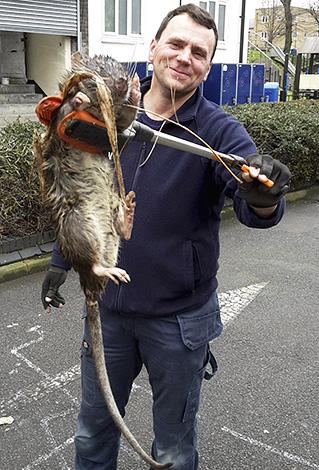 Лондонский инженер обнаружил гигантскую крысу весом около 11 кг.