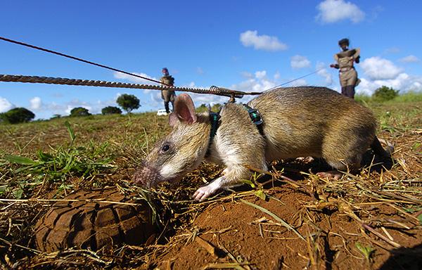 Гамбийские сумчатые крысы обладают прекрасным обонянием, что позволяет использовать их для поиска мин.