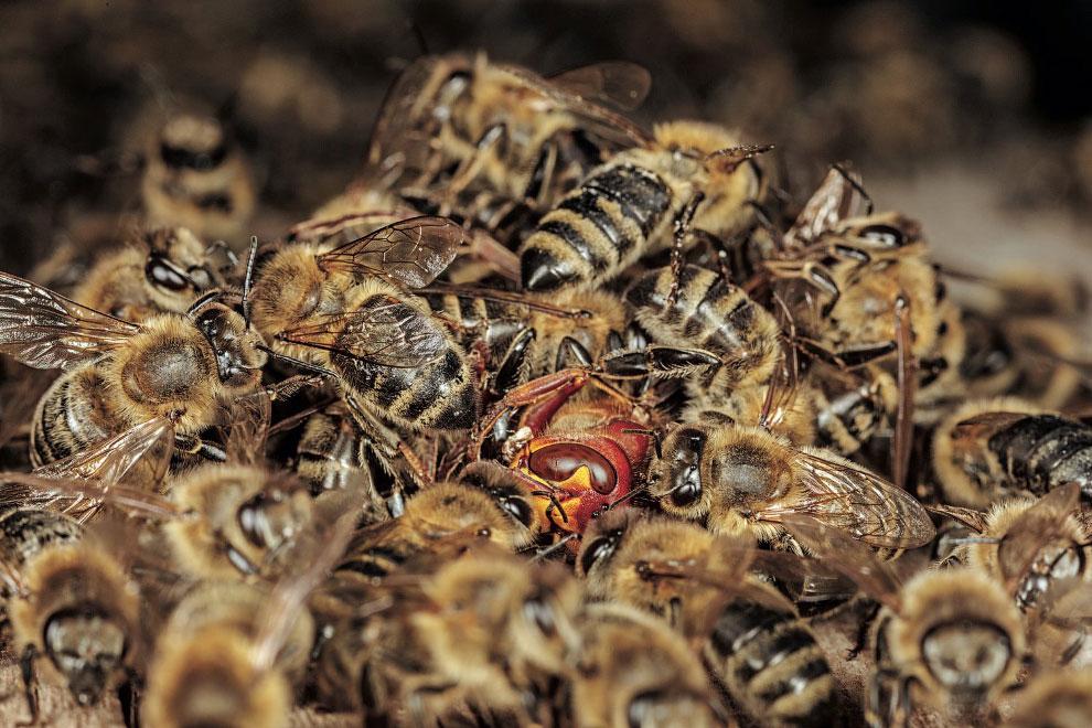 Тайны диких пчел Насекомые