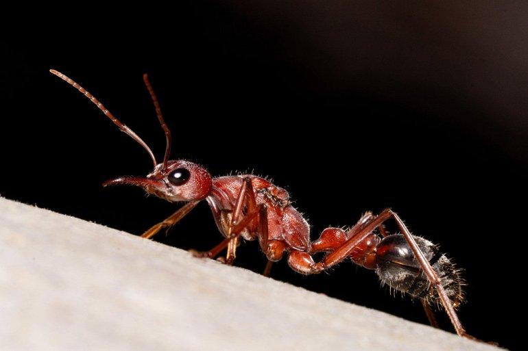 муравей бульдог