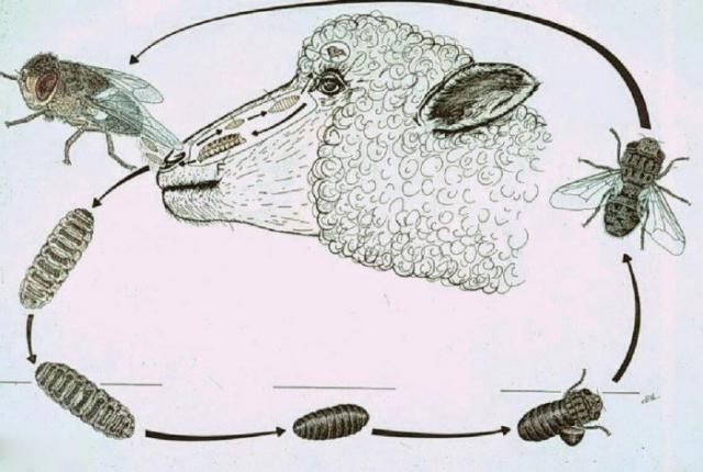 Овод: Типичная ошибка. Мифы и реальная опасность этих насекомых