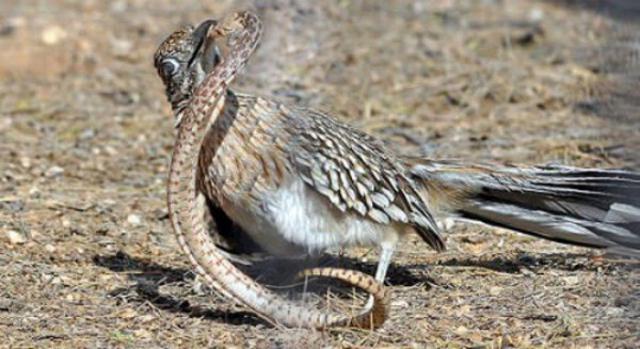 Дорожный бегун: Быстрый, дерзкий, как пуля резкий. Жатва змей и скорпионов на огромной скорости