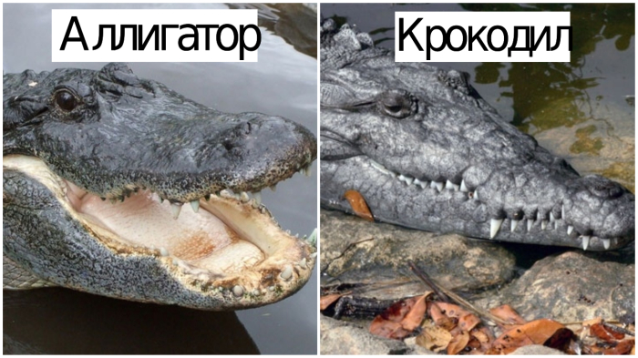 Аллигатор и крокодил - внешнее различие.
