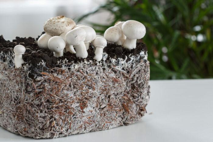 Можно ли посадить лесные грибы у себя на грядке?