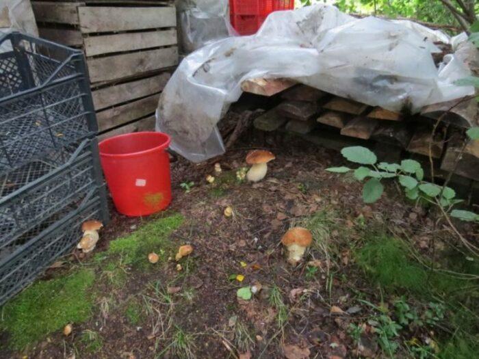Перенести грибницу будет не просто. /Фото: vot-ogorod.ru.