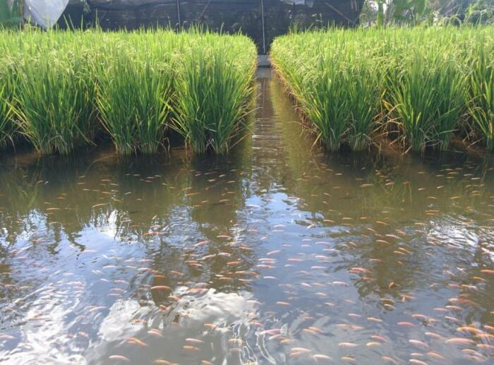 Обилие рыбы на рисовых полях значительно повышает урожайность / Фото: fb.ru