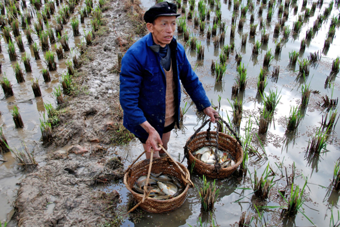 Фермеры ловят рыбу с помощью специальных ковшей и сетей, а также просто руками / Фото: mdgfund.org