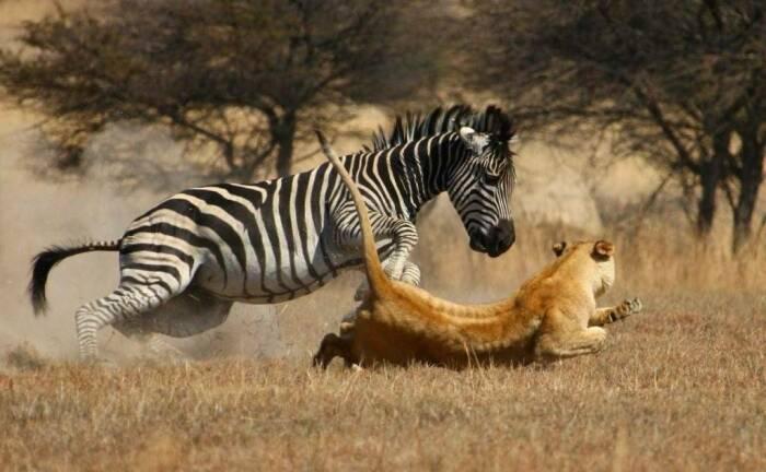 Зебра - жестокое и самовольное животное. |Фото: nashzelenyimir.ru.